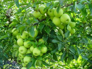 Mengenal Jenis-Jenis Apel Di Indonesia, Apa Kamu Pernah Mencobanya?